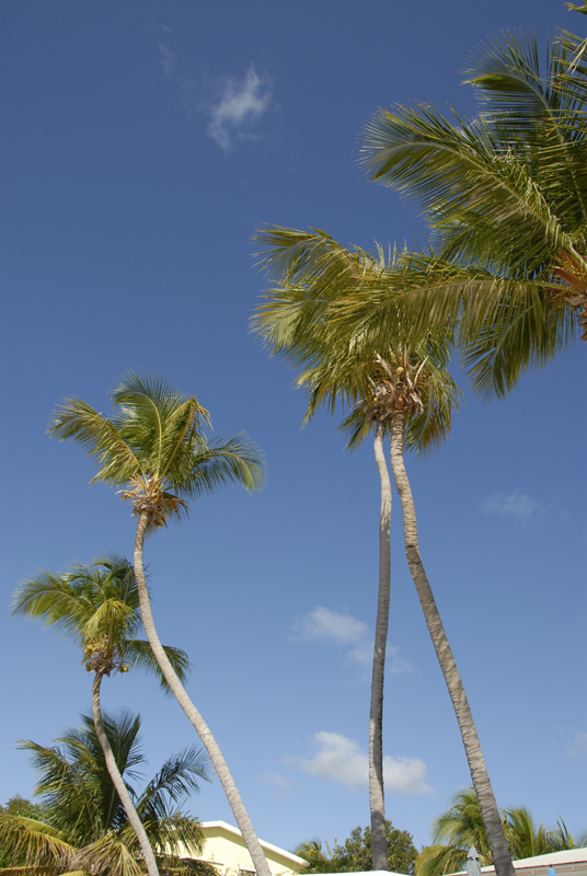 Simpson Bay Palm